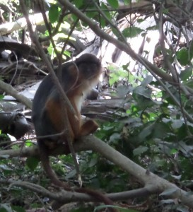 red colobus monkey, monkey park, gambia